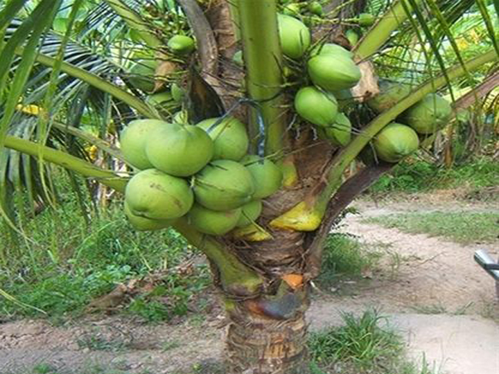 Cây giống dừa dứa