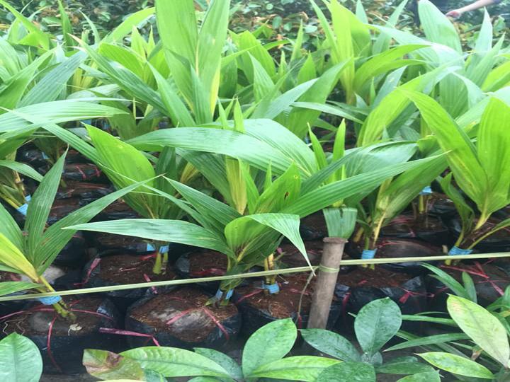 Cây Giống Dừa Vàng Tam Quan