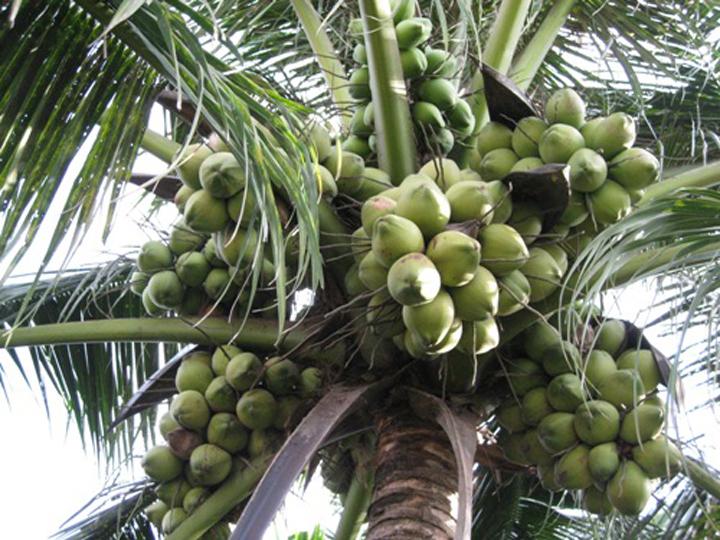 Cây giống Dừa xiêm lùn F1