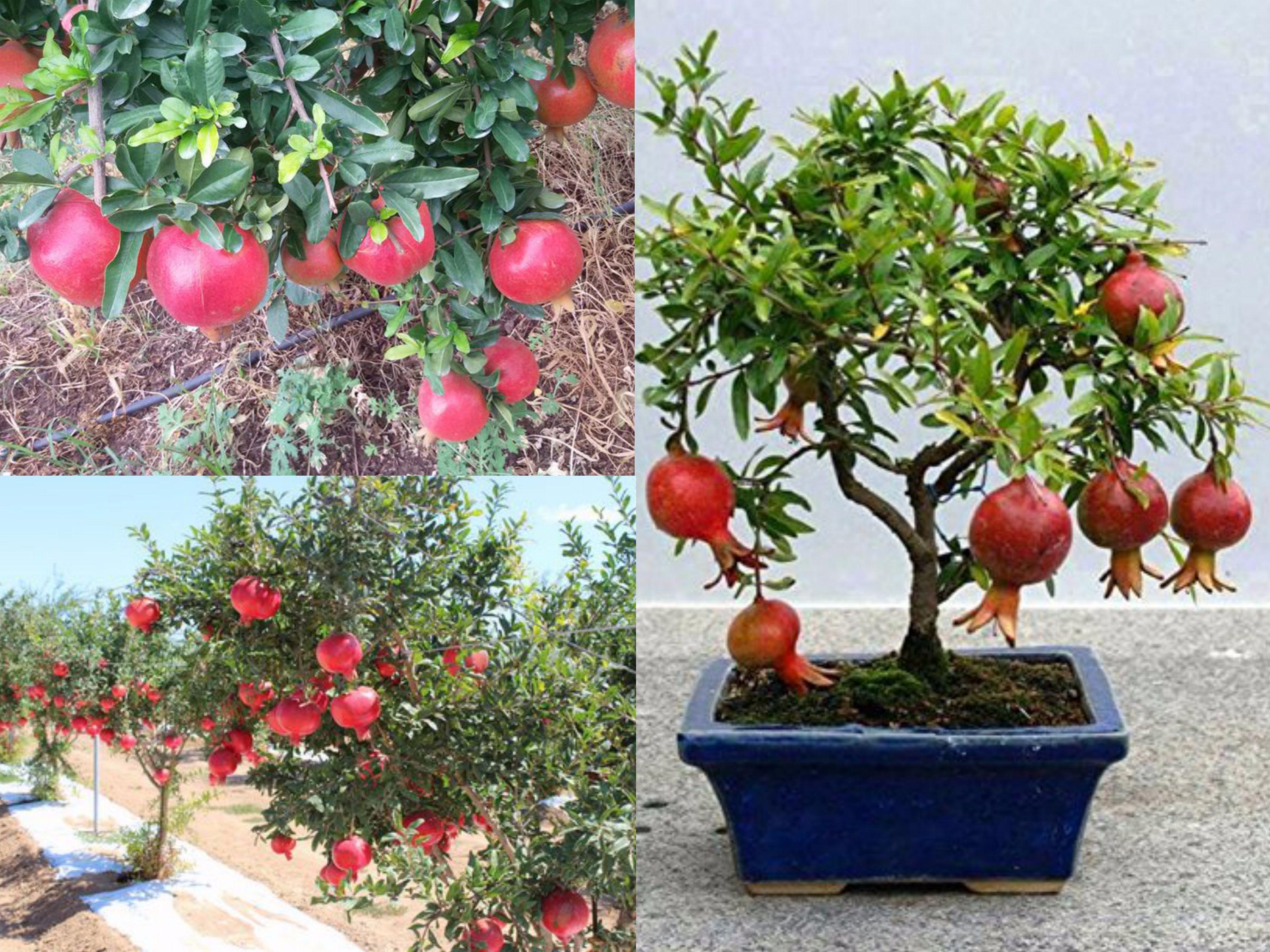 Cây lựu lùn siêu trái cao sản