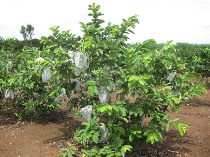 Cây giống Ổi Đài Loan