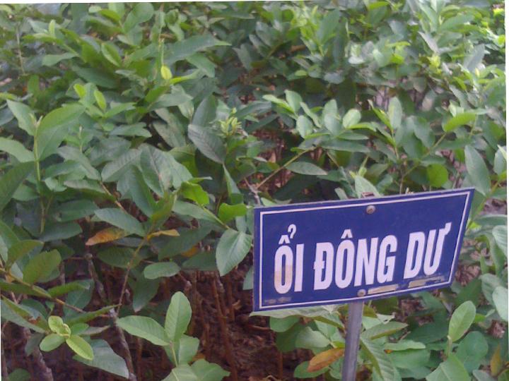 Cây giống Ổi Đông Dư