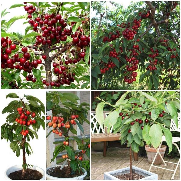 Giống cây Cherry