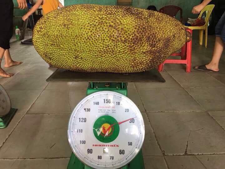 Cây giống Mít Trái Dài Malaysia