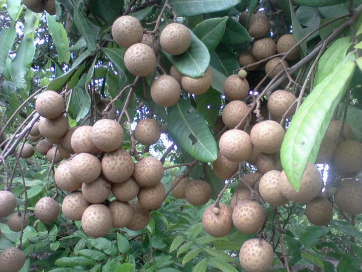 Cây giống Nhãn muộn Hưng Yên (nhãn miền thiết)