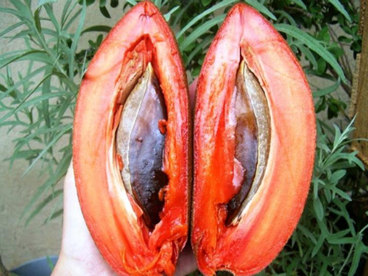 Cây giống hồng xiêm ruột đỏ